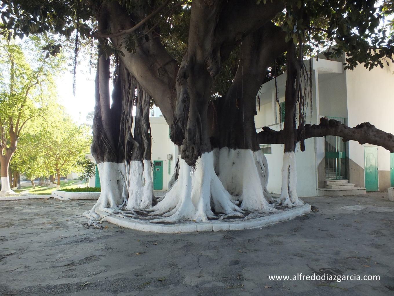 Banyan de la Mendoubia de Tanger